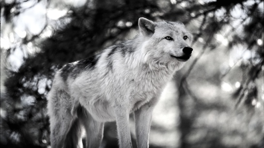 snow-wolf-1-1.jpg